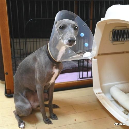 エリザベスカラーを着けた犬